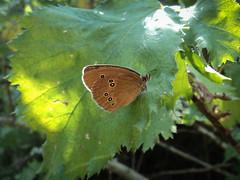 Közönséges ökörszemlepke (Aphantopus hyperantus) (jetiahegyen) Tags: rovar börzsöny túra túrázás kirándulás tour hiking outdoor lepke butterfly insect