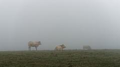 Troupeau dans la brume 3 (domingo4640) Tags: vache troupeau campagne elevage agriculture brume champ