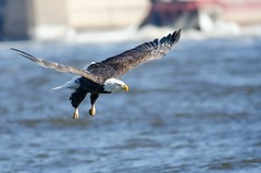 Bald Eagle in Flight (lindsayh710) Tags: bald eagle mississippi river nature wildlife bird flight freedom america lock dam 14 ia iowa leclaire