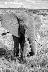 The Elephants of Tarangire National Park (virtualwayfarer) Tags: tarangirenationalpark tarangire nationalpark wildlife animals wild safari adventuresafari photosafari canon dslr decembersafari tanzania africa tanzanian blackandwhite blackandwhitephotography subsahara subsaharanafrica eastafricariftvalley riftvalley elephant mammal elephants wildelephant beautifulelephant herd family familyofelephants africanelephant endangered natgeoinpsired nationalgeographicinspired alexberger safariphotos adventuretravel solotravel travelinspiration photographyinspiration