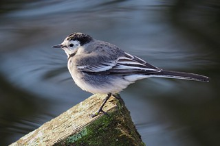 Pied Wagtail.......