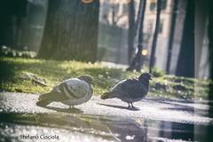 DSC_0174 (stefanociociola) Tags: birds piccioni vintage pozzanghera firenze parco park nature