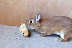 Ichigo san 602 (Ichigo Miyama) Tags: いちごさん。うさぎ。 rabbit bunny netherlanddwarf brown ichigo ネザーランドドワーフ ペット いちご うさぎ