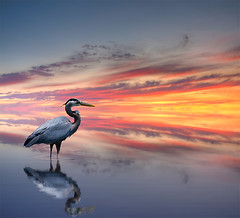 Vermilion (Philerooski) Tags: sunset sky blur bird heron water beautiful composite photoshop reflections amazing perfect waves distorted ripple digitalart surreal fantasy ripples imaginary vermilion vermillion neverending inspiredbyrisquillo damnitisavedoverthepsdfileagain