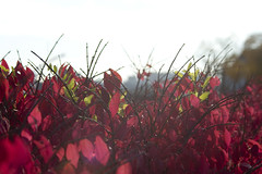 Burning Bush (2)