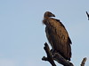 White-backed Vulture By Roelof van der Breggen