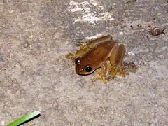 Boophis? (Linda DV) Tags: geotagged canon madagascar ranomafana frog boophis amphibian lindadevolder powershots5is 2009 africa amphibia