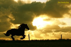support the wild mustang ! (The Family Dog) Tags: light sunset wild horse black silhouette gold support mustang sunrays gallop sunsetmania ☆thepowerofnow☆