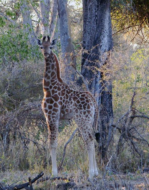 DSC09031 Baby Giraffe cropped