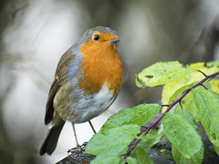 Robin in the rain (tricycledteenager) Tags: wild bird nature robin rain horizontal scotland fife feathers posing foliage naturereserve waterdroplets fullshot collessie partprofile birnielock
