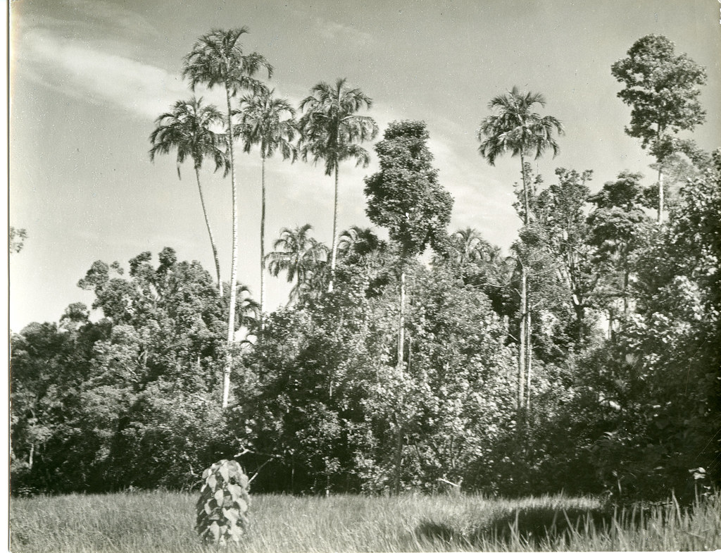 Pigafetta palms on Buru Island