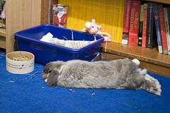 Andora's new flop spot (jade_c) Tags: pet rabbit bunny animal mammal singapore opal  hollandlop andora   lagomorph opalhollandlop