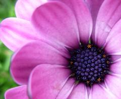 july 09 dark seeds in pink (treeef54) Tags: flower closeup botanica july09