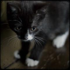 The Great Mervino (fiona bird) Tags: white black cute cat nose kitten evil whiskers paws floorboards merciless mervin