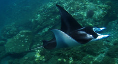 manta ray (bluewavechris) Tags: ocean blue sea water animal hawaii marine ray tail wing maui creature manta