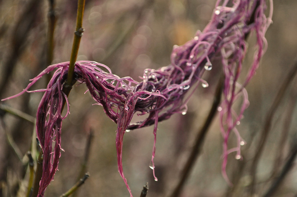 Purple Seaweed 3