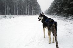 Our Snow Dog Today (Trojan_Llama) Tags: uk dog snow husky britain snowy siberianhusky snowing thetford