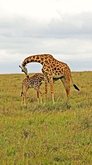 Mother's Love (Picture Taker 2) Tags: africa cute nature beautiful animals kids children outdoors colorful pretty babies eating wildlife mothers giraffe wilderness plains calf mammals newlife wildanimals animalbabies babyanimals africaanimals masimarakenya naturesbabies