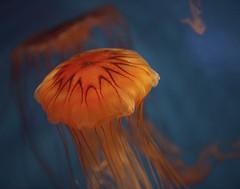 Jellyfish (Forget Me Knott Photography) Tags: ocean california sea fish water animal aquarium pacific wildlife sealife longbeach jelly brianknott forgetmeknottphotography fmkphoto