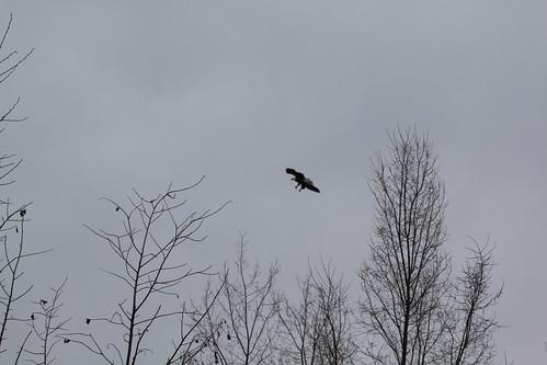 Our Bald Eagle