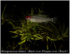 Hemigrammus bleheri_800_0_01 (Bruno Cortada) Tags: malawi marino mbunas cclidos sudafricanos tanganyica