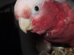 260009 (billulater) Tags: parrot cockatoo galah rosebreasted rosebreastedcockatoo