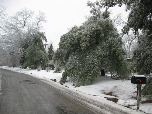 Freezing evergreens