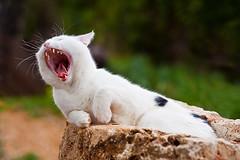 Gato bostezando -  Cat yawning (Juan Antonio Cap) Tags: animal cat kat feline chat f14 yawn 85mm gato falcon felino katze mace  gatto  kot sbadiglio gat koka kedi bocejo kissa kttur maka kucing ghnen pusa bostezo mo moix     billement minino   samyang   pisic    canoneos5dmarkii ziewa   falcon85mmf14