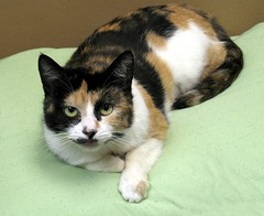 Hot Tea, a Beautiful Calico Girl Cat (Pixel Packing Mama) Tags: lovely1 loveit heartlandhumanesociety pixelpackingmama furryfridaypool dorothydelinaporter allanimalspool views75pool montanathecat~fanclub reallyunlimited calicoandtortishellcatspool montanathecat~fanclubpool favorites5pool 510favoritesonlyoneadaypool 15favouritespool ceruleanthecat~fanclub beautifulphotoswithabeautifulcommentpool ceruleanthecat~fanclubpool calicocatstortiortortoisedilutedornotset catslookingatyoupool worldsfavoritepool views76100pool 75100viewspostupto5perdaypool beautifulcatspool allcatsallowedpool siamesecatsandtheirfelinebrotherspool furrycatfriendspool furryfuncutefunnyanimalspool commentedwithcongratulationsunlimitedpool smudgedotsplotchnosedcatspool 50plusphotographersaged50andbetterpool furrificcatspool watchfor101 photosfrom20002010pool whohastheprettiesteyesofthemallpool beautifuluniverse~photosmusthavebeautifulincommentspool favoritedpixfirsthalfof2010set pixuploadedfirsthalfof2010set pixtakeninfirsthalfof2010set picturestakenwithcanonpowershota2000isin2010set tricoloredcatspool catskittensstartingjanuary12010set obsessivephotography30perdaypool capturephotoscommentedwithpositivewordcapturepool favup032910 pixelpackingmama~prayforkyronhorman oversixmillionaggregateviews over430000photostreamviews