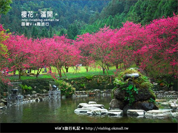 【九族櫻花季】櫻花滿開!最浪漫的九族文化村櫻花季31