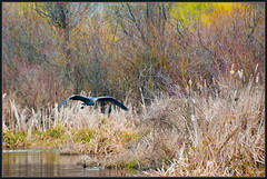 Primordial (TT_MAC) Tags: bird heron nature wildlife swanlake greatblueheron vicotiabc