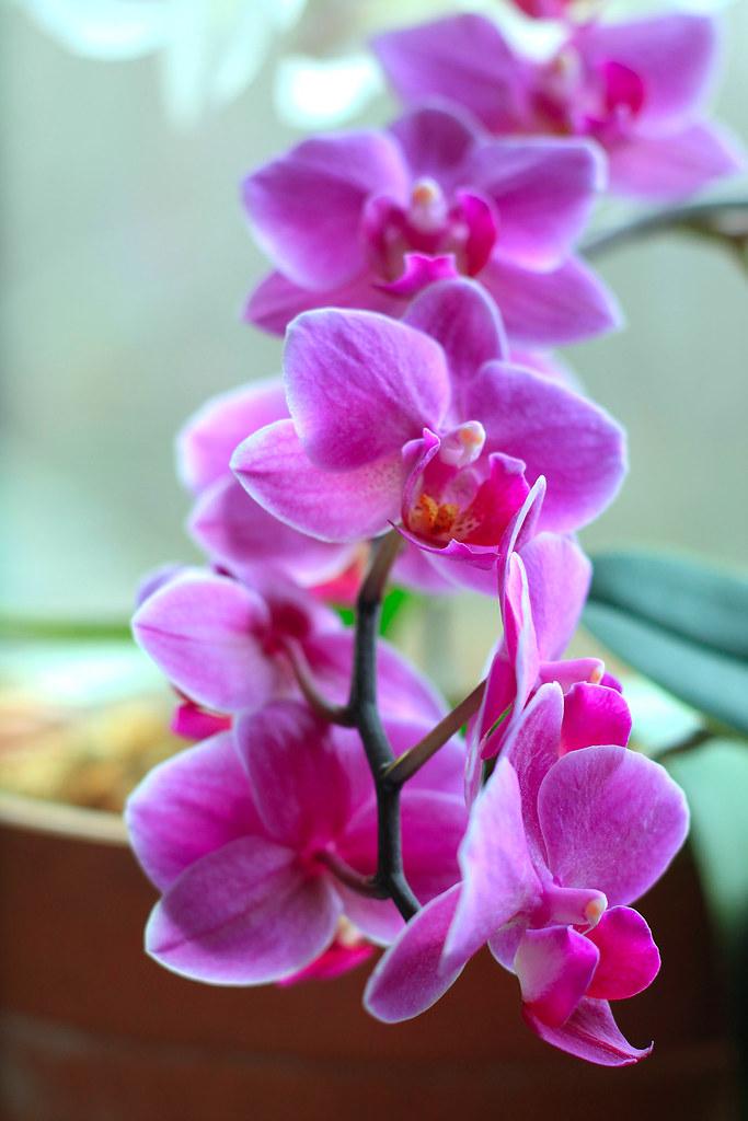 orchids 078x