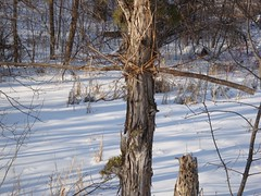 Tree Cross (Mike Tauer) Tags: tree plymouth mn timbershorespark