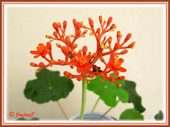 Closeup of Jatropha podagrica (Gout Plant, Buddha Belly Plant): first flowering