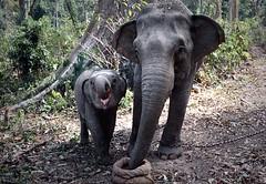 Swimming elephant (O.Blaise) Tags: india elephant swim archipelago nage asianelephant inde elephasmaximus andamanislands havelok theindiatree travailtravausforestierîle gulfofbengal