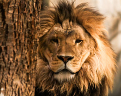 lion001 (Raphael Macek - Horse Photography) Tags: africa white black nature look animals eyes wildlife lion straps specanimal abigfave anawesomeshot flickrbigcats bestofmywinners
