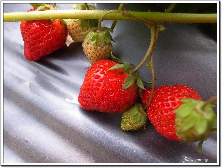 採草莓 (3)
