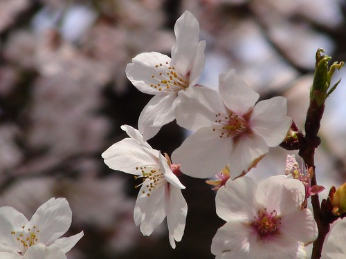 桜 お花見 石神井公園
