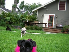 DSCN2255 (amanda.a.harkins) Tags: pink blue dog playing black hot male green grass car female puppy outdoors chains eyes bars mess feather pug chain indoors prison fawn tired jail fancy zebra collar pugs scottie houndstooth