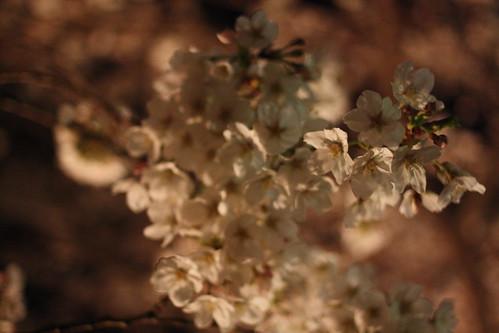 夜桜2010