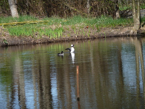 Mr. and Mrs. Bufflehead #6