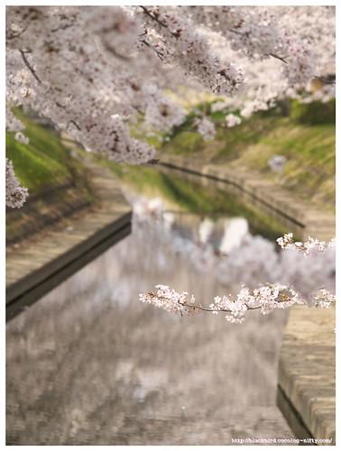 Sakura river 100406 #01