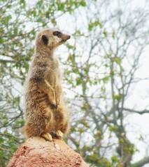 (MissMellor_x) Tags: wild animal outdoors zoo meerkat furry wildlife chesterzoo flickrestrellas