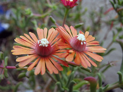 Iceplant-Tree-home-032210 (Pterosaur Whisperer) Tags: california africa flowers plant color floral garden succulent flora sandiego south salmon iceplant capeprovince groundcover droughttolerant aizoaceae xeric tuberosum fireresistant mestoklema