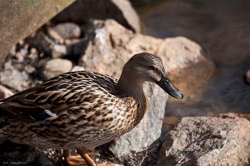 A 5D mark 2 Duck!
