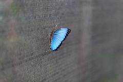 baudchon-baluchon-mindo-papillons-46