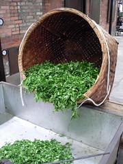 just-picked tea leaves at Marukyu Koyama-en