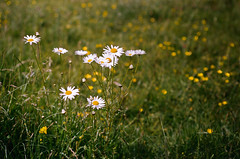 Y_SS_59450005 F3_50f2_Port160VC daisies buttercups (jim sedgley) Tags: white flower nature yellow nikon buttercup bokeh meadow daisy f3 kodakportra160vc chertseymeads nikkor50mmf20ai