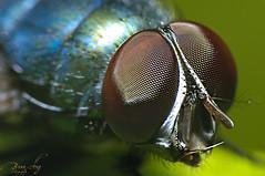 bangaw chronicles: book II (GUDEYESNIPER) Tags: macro closeup insect spider fly zoom micro fruitfly macrophotography philippinepeso
