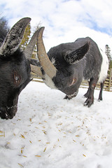 Fight (CoolMcFlash) Tags: goat jung snow fight horn winter outside canon eos 60d nature animal ziege junges young schnee kampf natur tier fotografie pho pov pointofview perspective blickwinkel sigma 10mm fisheye fischauge hohewand loweraustria zoo niederösterreich